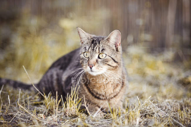 Close-up of tabby cat hunting outdoors — Stock Photo