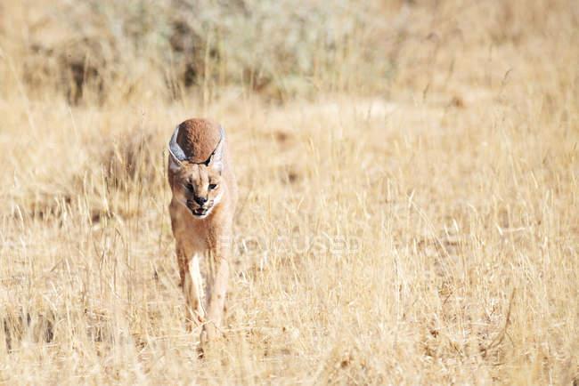 Promenade caracale dans la savane en Namibie — Photo de stock