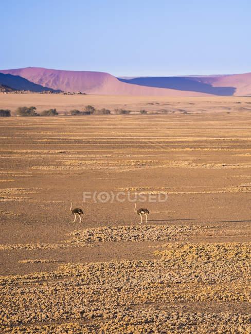Afrique, Namibie, désert namibien, autruches africaines — Photo de stock