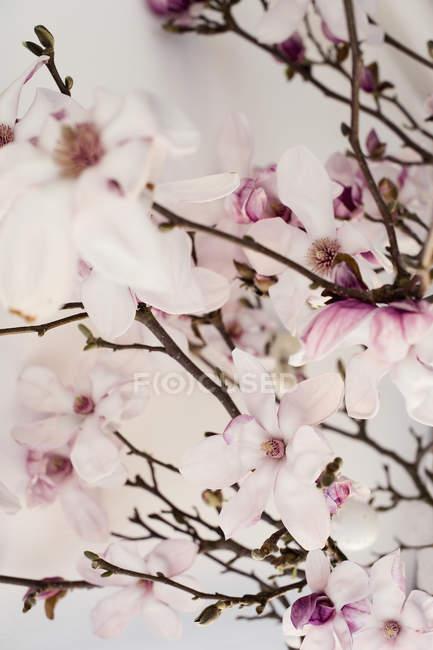 Brindilles de floraison rose magnolia closeup shot — Photo de stock