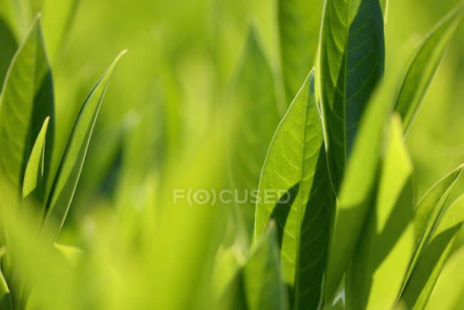 Folhas em luz do sol no fundo desfocado — Fotografia de Stock