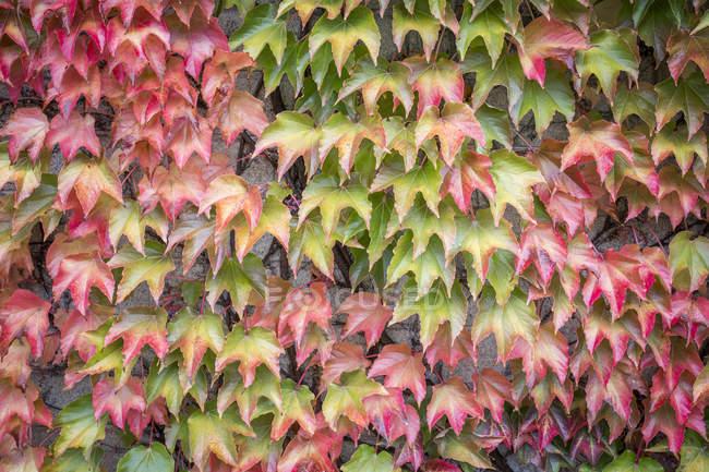 Autumn leaves of Virginia creeper — Stock Photo