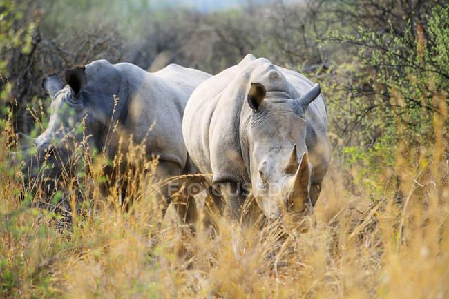 Намібія, білий носорогів, ходьба серед чагарників у Waterberg Національний парк — стокове фото