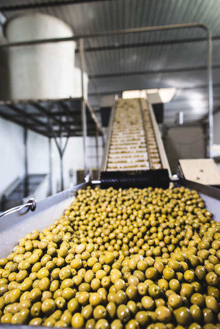 Conveyor belt with olives in food processing plant — Stock Photo