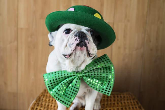 Французский бульдог одетый в большой зеленый галстук-бабочку и шляпу — стоковое фото