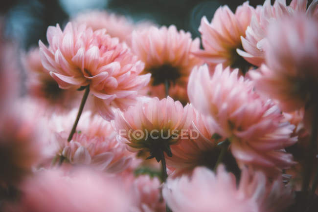 Pink dahlia on blurred background — Stock Photo