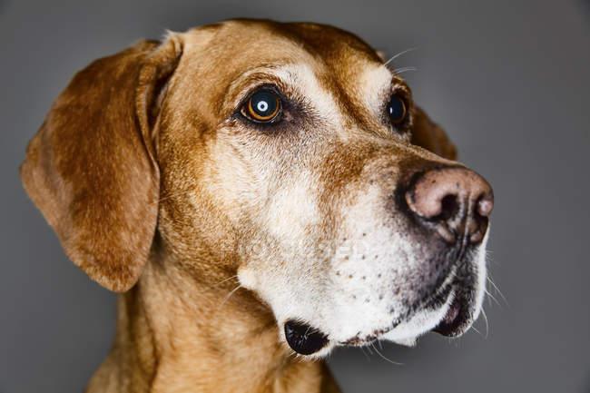 Mischling Hund suchen seitwärts vor grauem Hintergrund — Stockfoto
