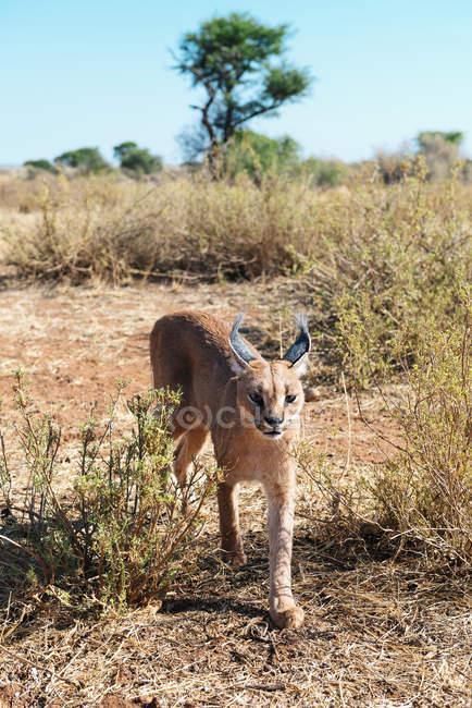 Namibia, caracal walking through bushes during daytime — Stock Photo