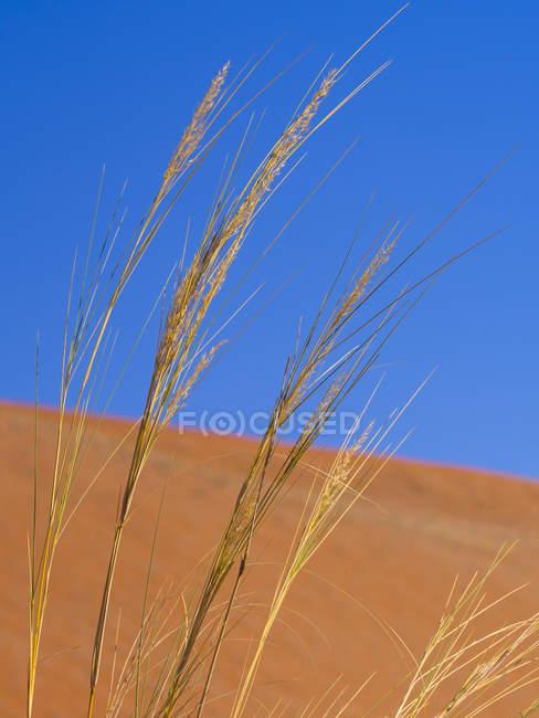 Namíbia, Sossusvlei, dunas de areia e gramíneas — Fotografia de Stock