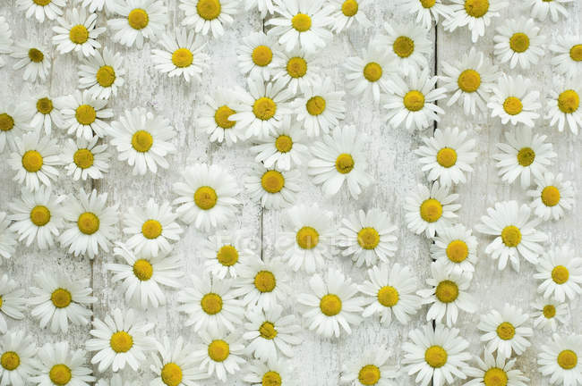 Top view of Daisies blossoms on white wooden surface — Stock Photo