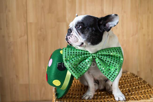 Французский бульдог, одетый в большую зеленую бабочку — стоковое фото