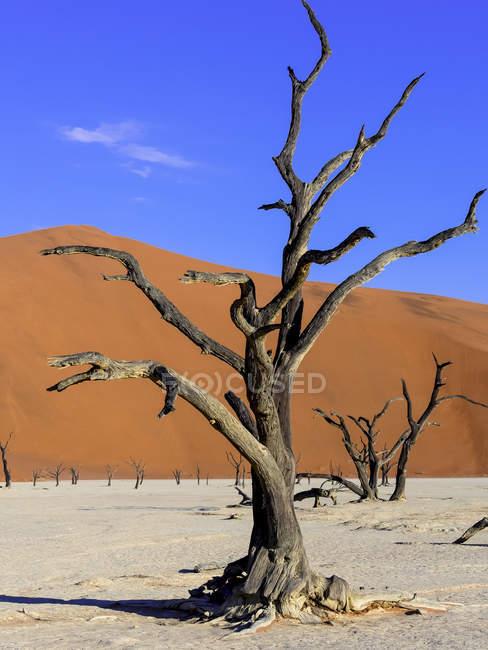 Namibia, Namib Naukluft, Dead Vlei, dead camel thorns in front of desert dune — Stock Photo