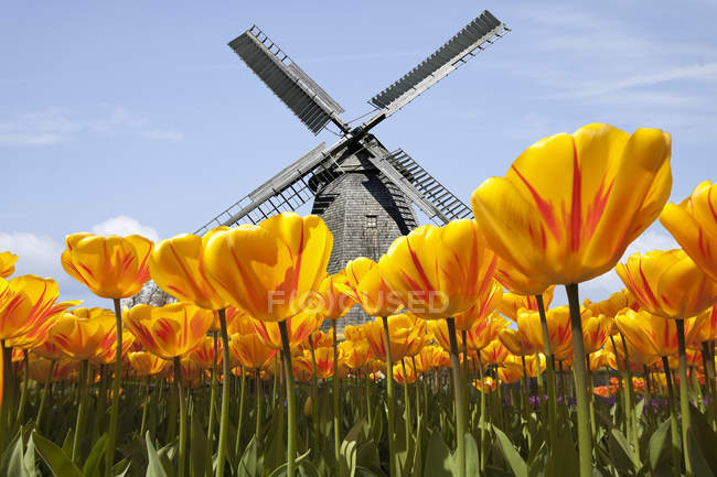 View to traditional windmill with tulip field in the foreground, Keukenhof, Netherlands — Stock Photo