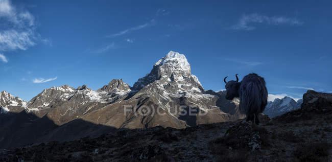 Himalaya, regione dell'Everest, Khumbu, Nepal, Taboche, Yak in montagne — Foto stock
