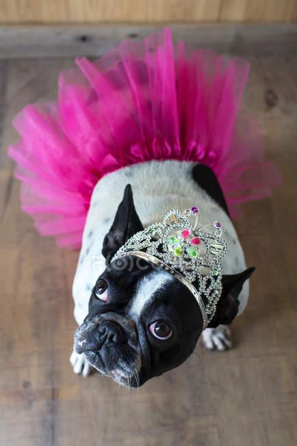 Vue de mignon bouledogue français déguisé en princesse — Photo de stock