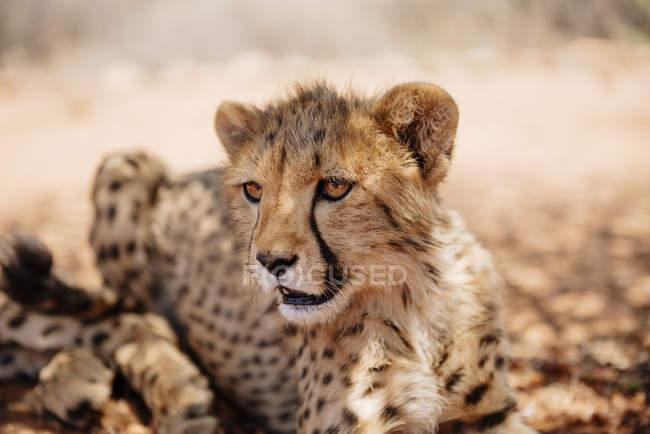 Closeup Portrait Geparden Cub tagsüber, Namibia — Stockfoto