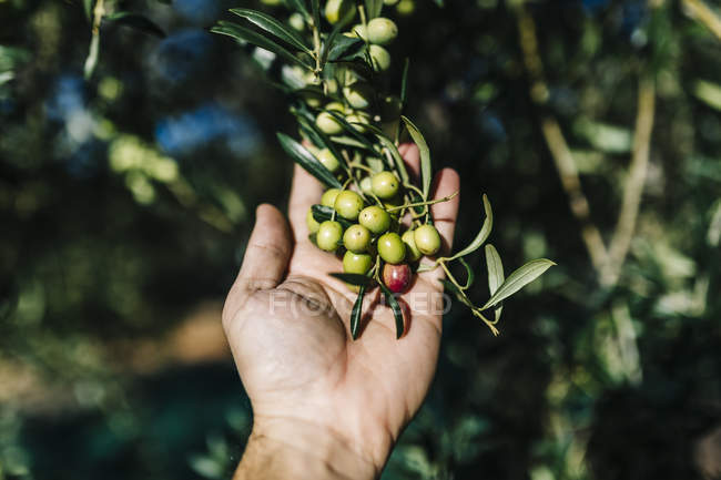 Male hand holding twig with olives — Stock Photo