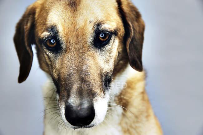 Mischling Hund Blick in die Kamera auf grauem Hintergrund — Stockfoto