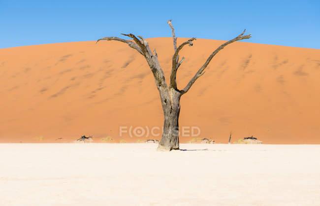 Árvore morta de Namíbia, deserto do Namibe, em Deadvlei — Fotografia de Stock