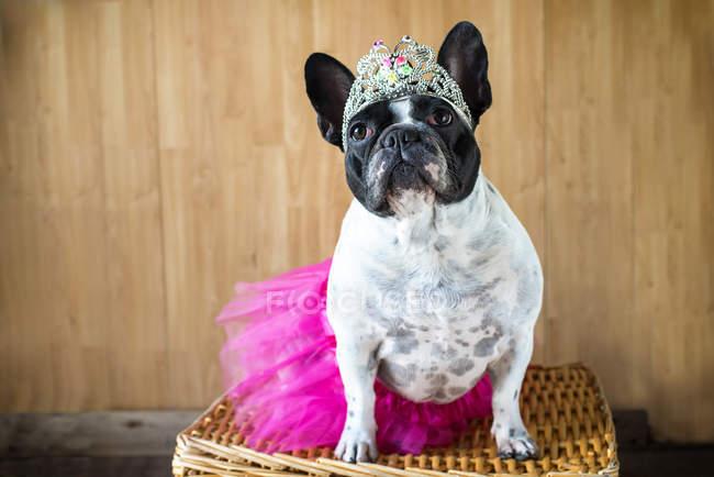 Vue de face de mignon bouledogue français déguisé en princesse — Photo de stock