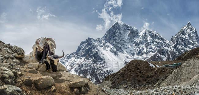 Himalaya, regione dell'Everest, Khumbu, Nepal, Taboche, Yak in piedi sulla roccia — Foto stock