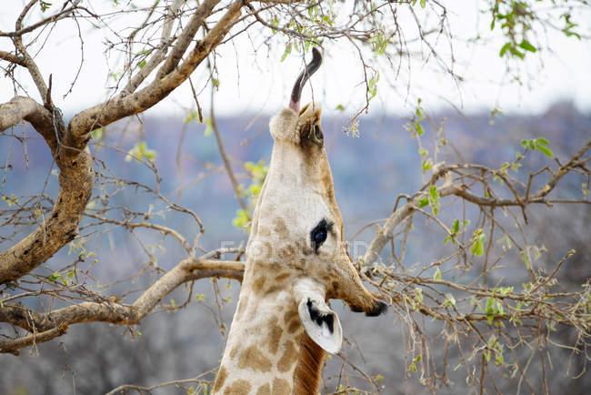 Намибия, Ватерберг Национальный парк, Жираф едят листья с дерева — стоковое фото