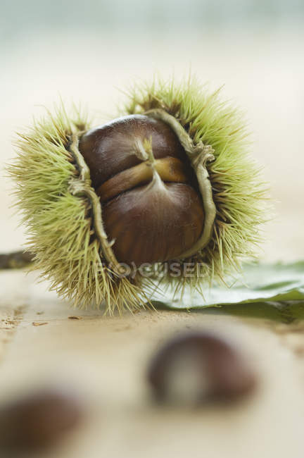 Closeup view of sweet chestnut in thorny skin — Stock Photo