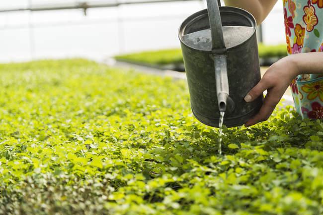 Female gardener watering plants in plant nursery — Stock Photo