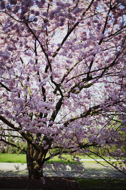 Cerejeira japonesa florescimento num parque — Fotografia de Stock