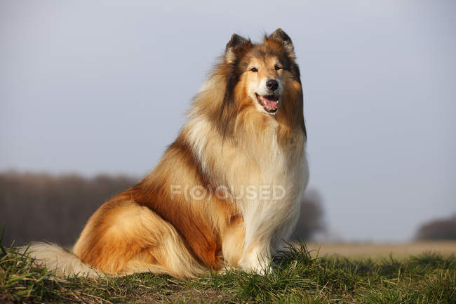 Rough Collie sitting on meadow with tongue out — Stock Photo