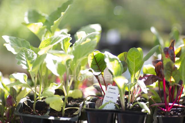Рассады шпината на открытом воздухе в дневное время — стоковое фото