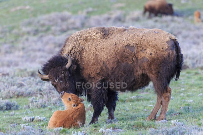 Bison mother and calf on grassland at Yellowstone National Park, USA — Stock Photo