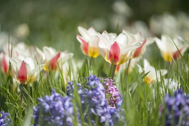 Champs de tulipes et de jacinthes sur une prairie pendant la journée — Photo de stock