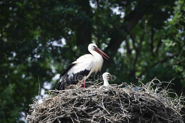 Cicogna con giovane uccello nel nido — Foto stock