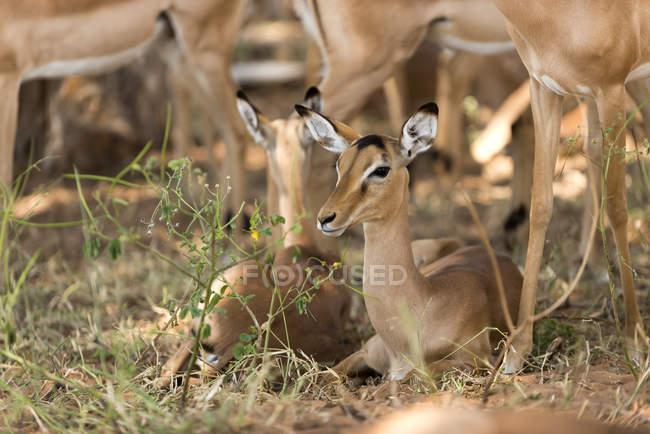 Impala femminile di Botswana, Chobe National Park, che si siede sulla terra — Foto stock