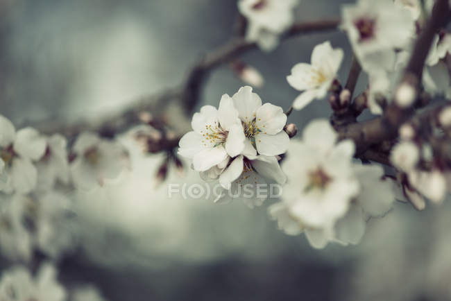 Spring, white flowers on twig on blurred background — Stock Photo