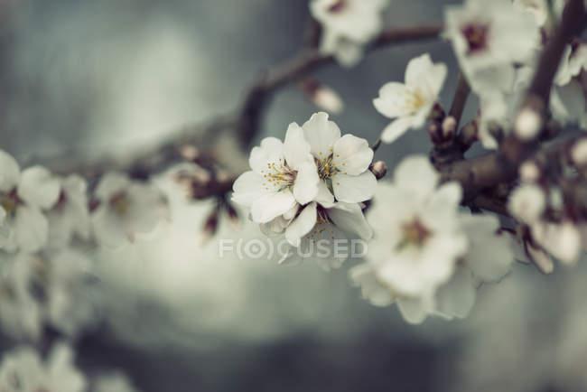 Fleurs de printemps, blanc sur brindille sur fond flou — Photo de stock