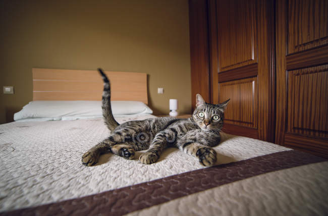 Tabby cat lying on bed and looking at camera — Stock Photo