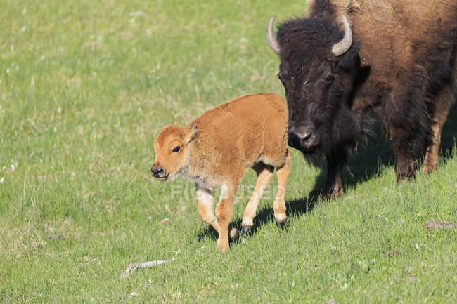USA, Yellowstone National Park, Bison mother and calf on grassland — Stock Photo