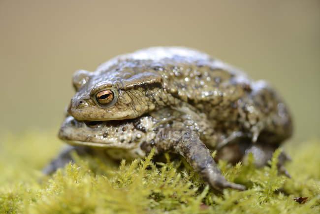 Загальні жаби спаровування, крупним планом — стокове фото