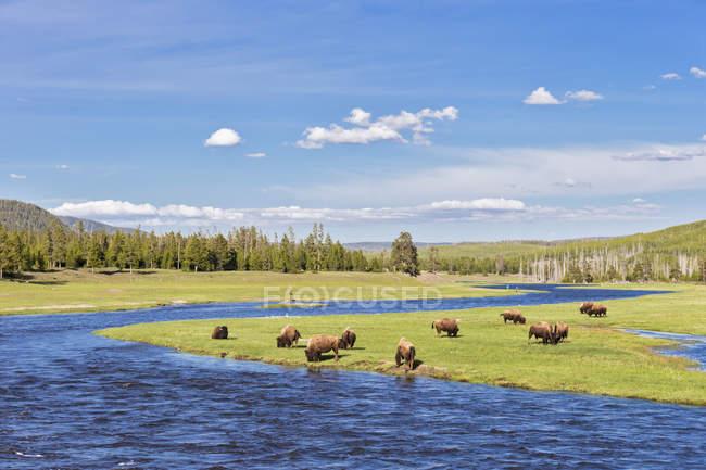USA, Parco Nazionale di Yellowstone, mandria di bufali che bevono al fiume Madison — Foto stock
