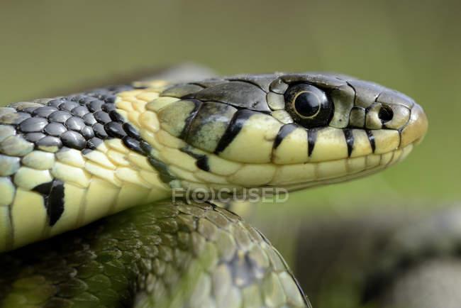 Focinho de cobra — Fotografia de Stock