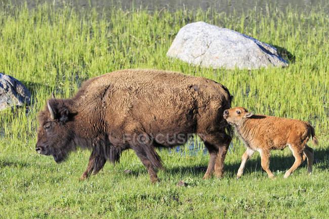 Bison mother and calf on grassland, Yellowstone National Park, USA — Stock Photo