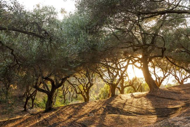 Greece, Corfu, olive orchard at sunset during daytime — Stock Photo