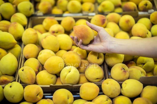 Mujer mano recogiendo melocotones - foto de stock