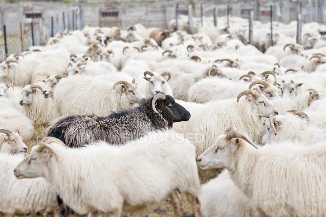 Gregge di pecore presso azienda agricola durante il giorno — Foto stock