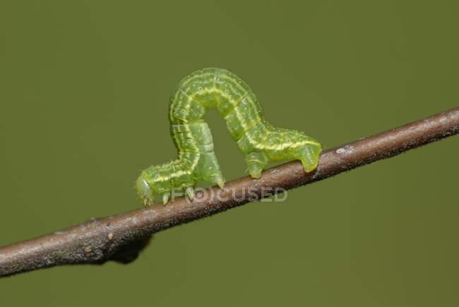 Alosophila aescularia on a twig — стоковое фото