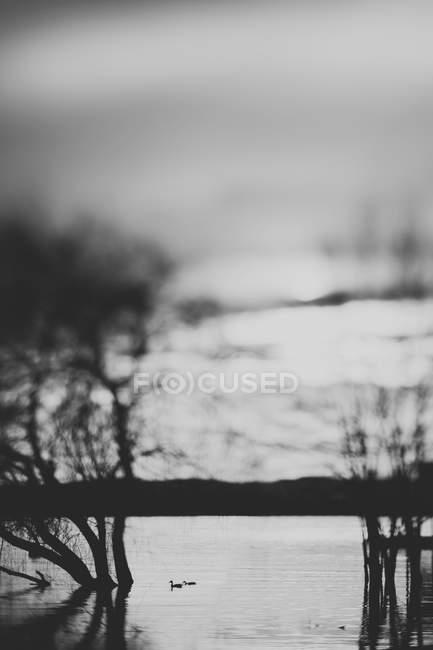 Італія, Варезе, два качок, плавання на озеро Варезе — стокове фото