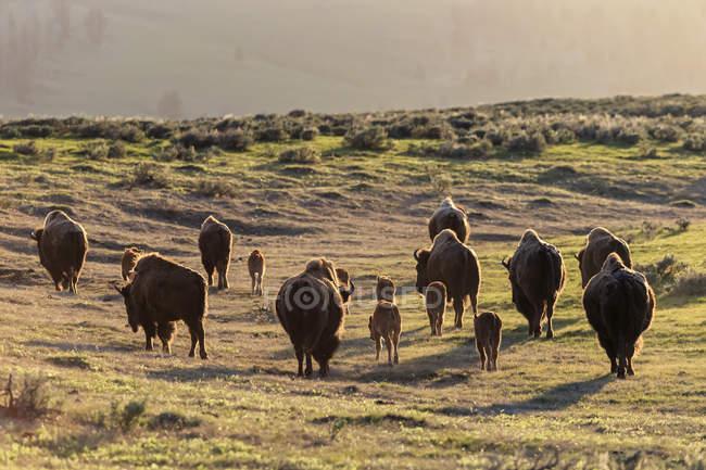 USA, Yellowstone National Park, Herd of buffaloes on grassland — Stock Photo