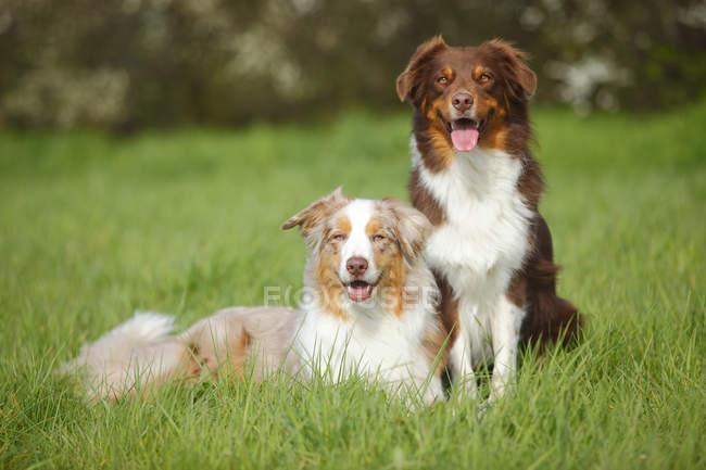 Dois cães pastor australiano sentado no Prado — Fotografia de Stock